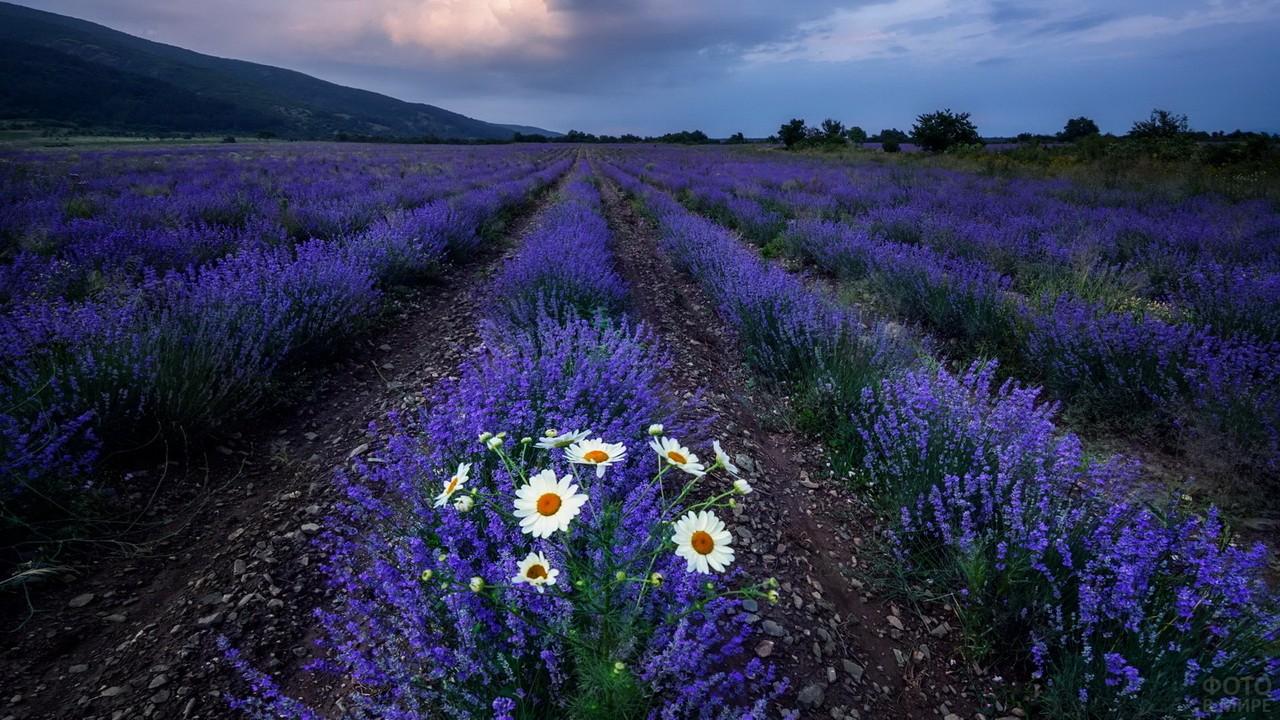 Одинокие ромашки в бескрайнем поле лаванды