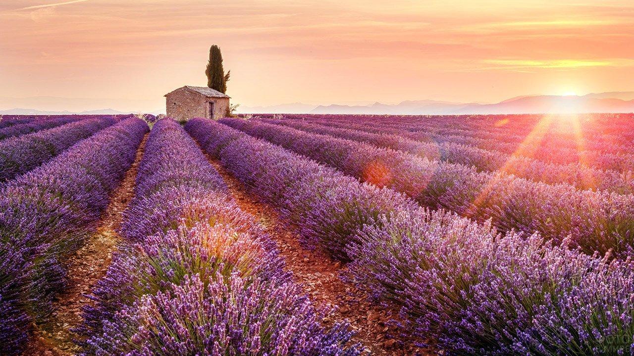 Рассвет над лавандовыми полями Прованса
