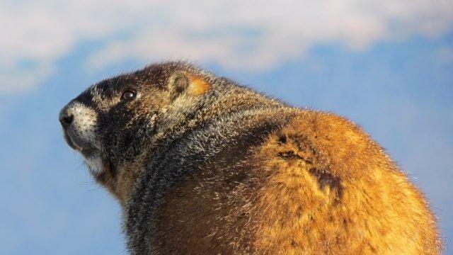 Гималайский сурок вид со спины