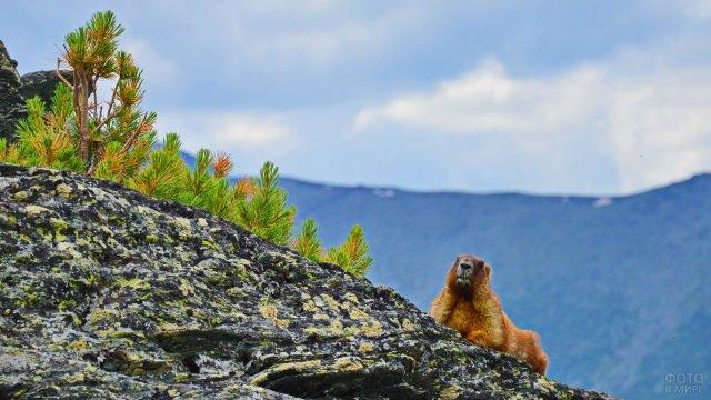 Рыжий сурок сидит на горе