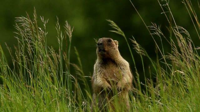 Сурок стоит в траве сложив лапки на животе