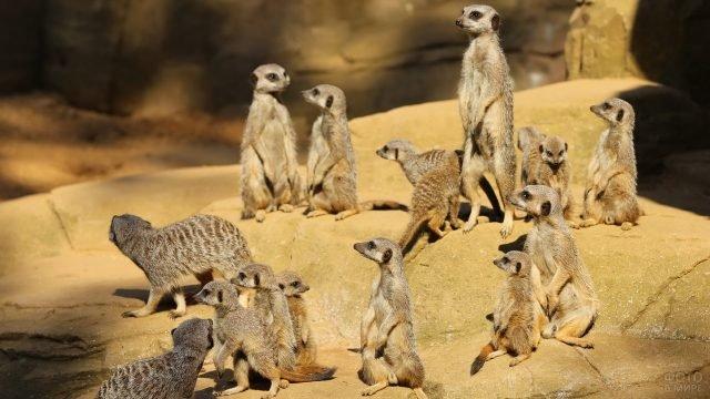 Большая группа сурикатов сидит на камнях