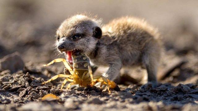 Малыш сурикат ест скорпиона