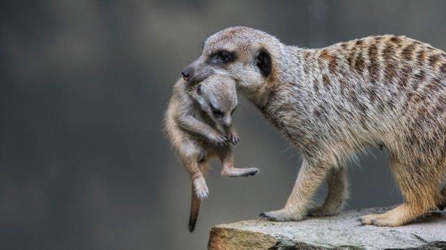 Мама сурикат держит детёныша за холку