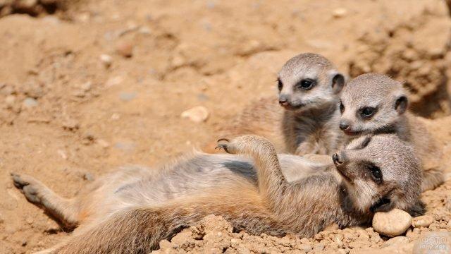 Мама сурикат отдыхает со своими детками