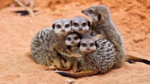 Пять сурикатов обнимаются друг с другом