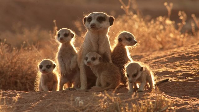 Семья пустынных сурикатов