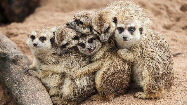 Шесть сурикатов сидят в обнимку