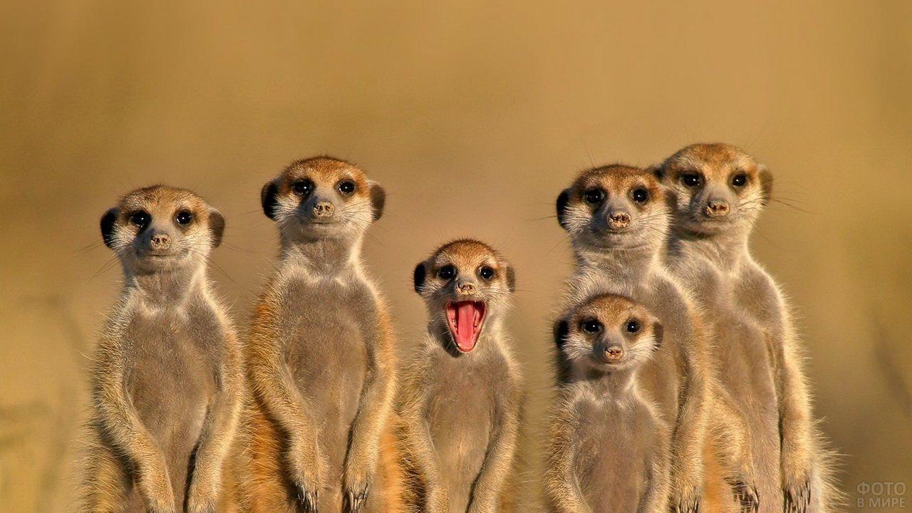 Смешной сурикат с открытым ртом и его друзья