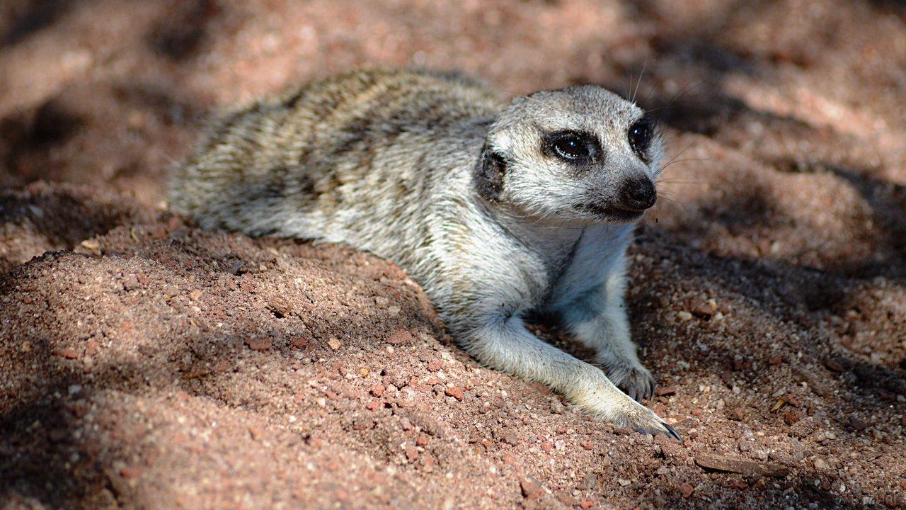 Сурикат лежит на песке