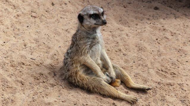 Сурикат сидит на попе на песке