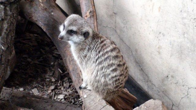 Сурикат сидит в зоопарке