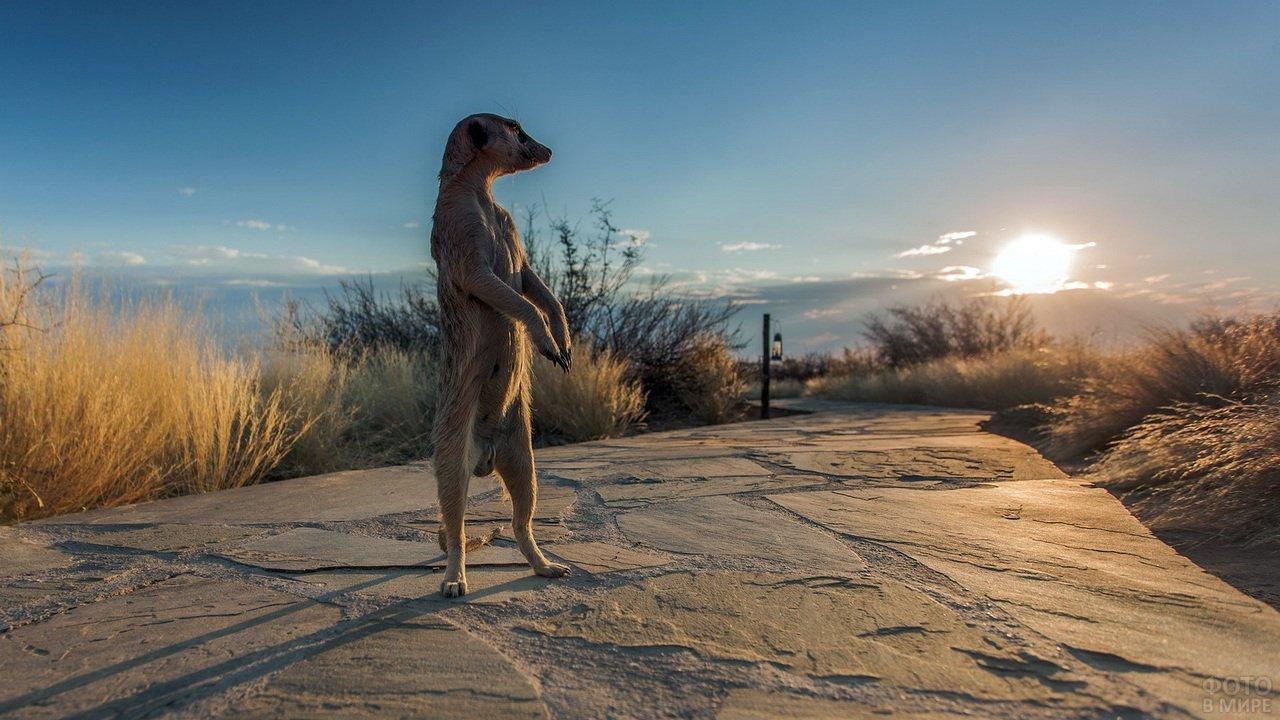 Сурикат стоит на фоне заката