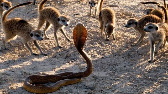 Сурикаты окружили кобру
