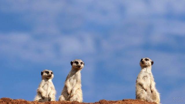 Три суриката сидят на фоне неба