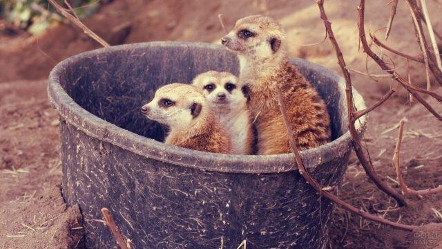 Три суриката сидят в ведре