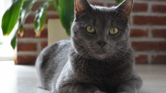 Добротный русский голубой кот