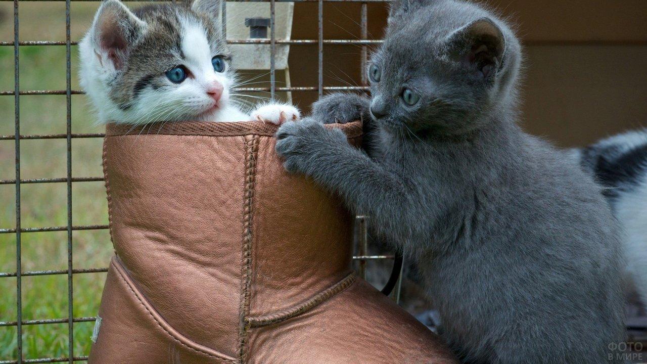 Котенок породы русской голубой играет со своим другом