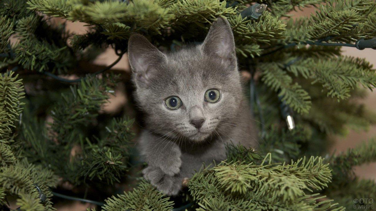 Котёночек выглядывает из-под ёлки