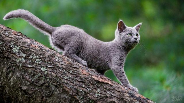 Маленькая русская голубая кошка спускается по стволу дерева