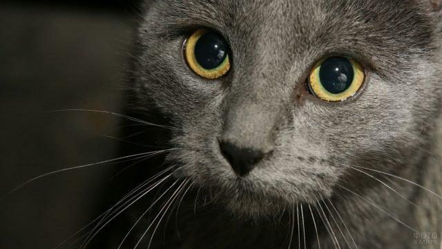 Морда русской голубой кошки крупным планом