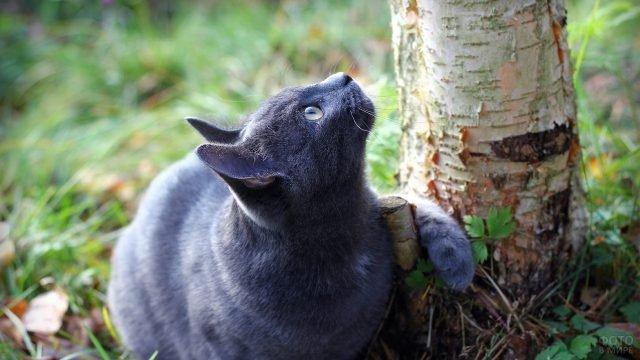Русская голубая киса сидит под берёзой и смотрит вверх
