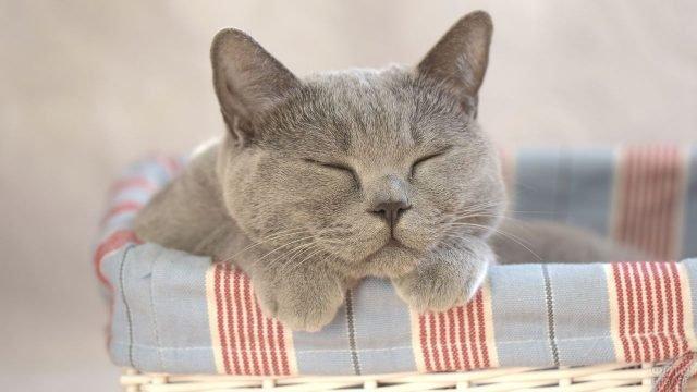 Русская голубая киска мирно спит в корзине