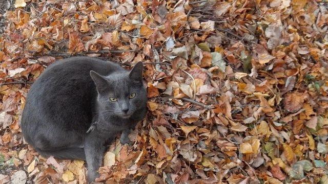 Русская голубая кошечка сидит на осенней листве