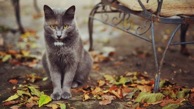 Русская голубая кошечка сидит возле лавочки на осенних листьях