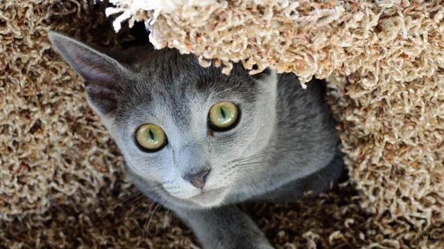 Русская голубая кошечка выглядывает из-под покрывала