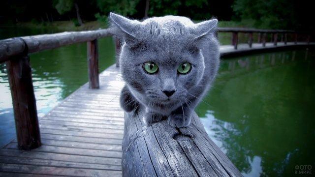 Русская голубая кошка идёт по мосту через озеро