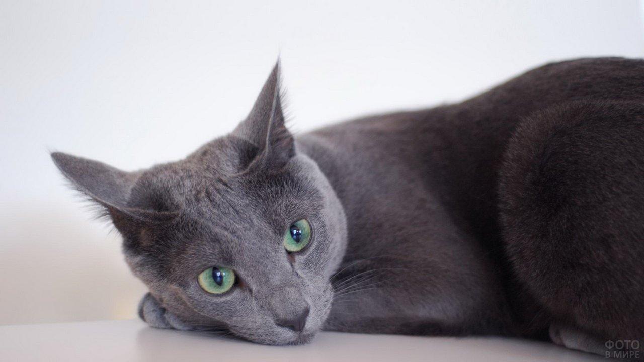 Русская голубая кошка лежит боком на лапках