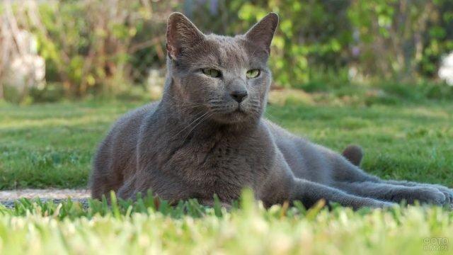 Русская голубая кошка лежит на газоне