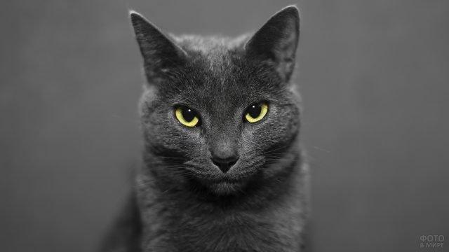 Русская голубая кошка на сером фоне