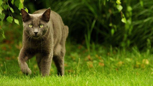 Серый котик идёт по газону