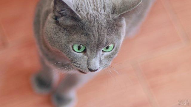 Зеленоглазая русская голубая кошечка