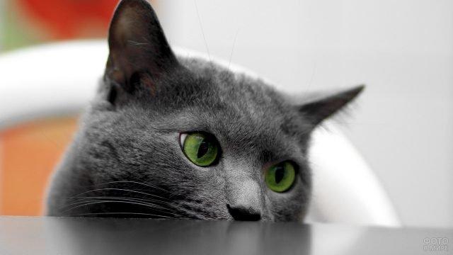 Зеленоглазый русский голубой выглядывает из-за стола