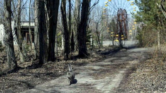 Кот в Чернобыльской зоне отчуждения