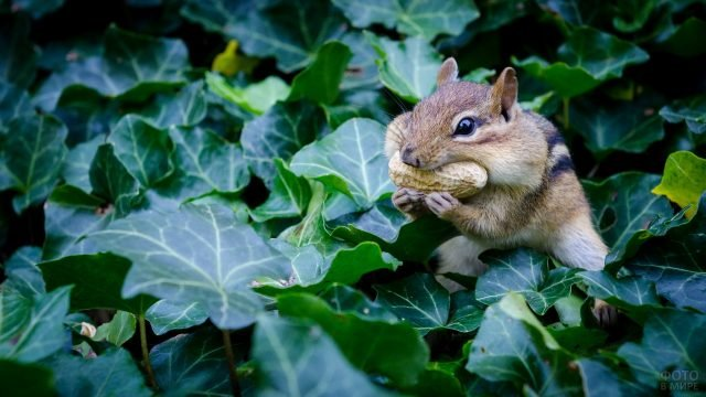 Бурундучок обедает сидя в зелёной листве