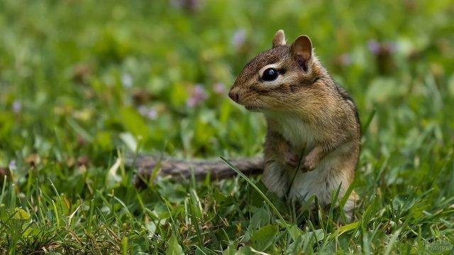 Бурундучок сидит в траве