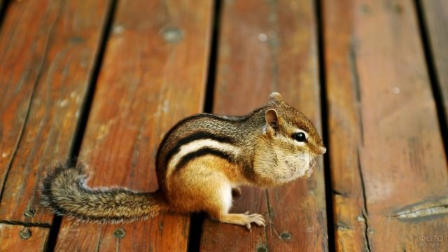 Бурундук сидит на деревянном настиле