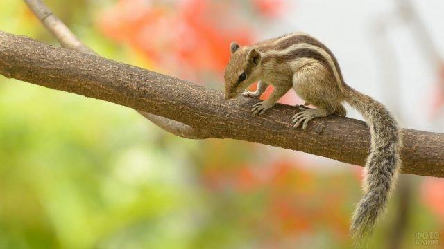 Длиннохвостый бурундук ходит по дереву