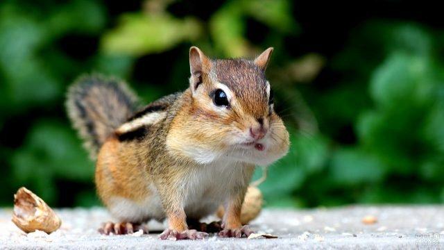 Маленький бурундук с полным ртом еды