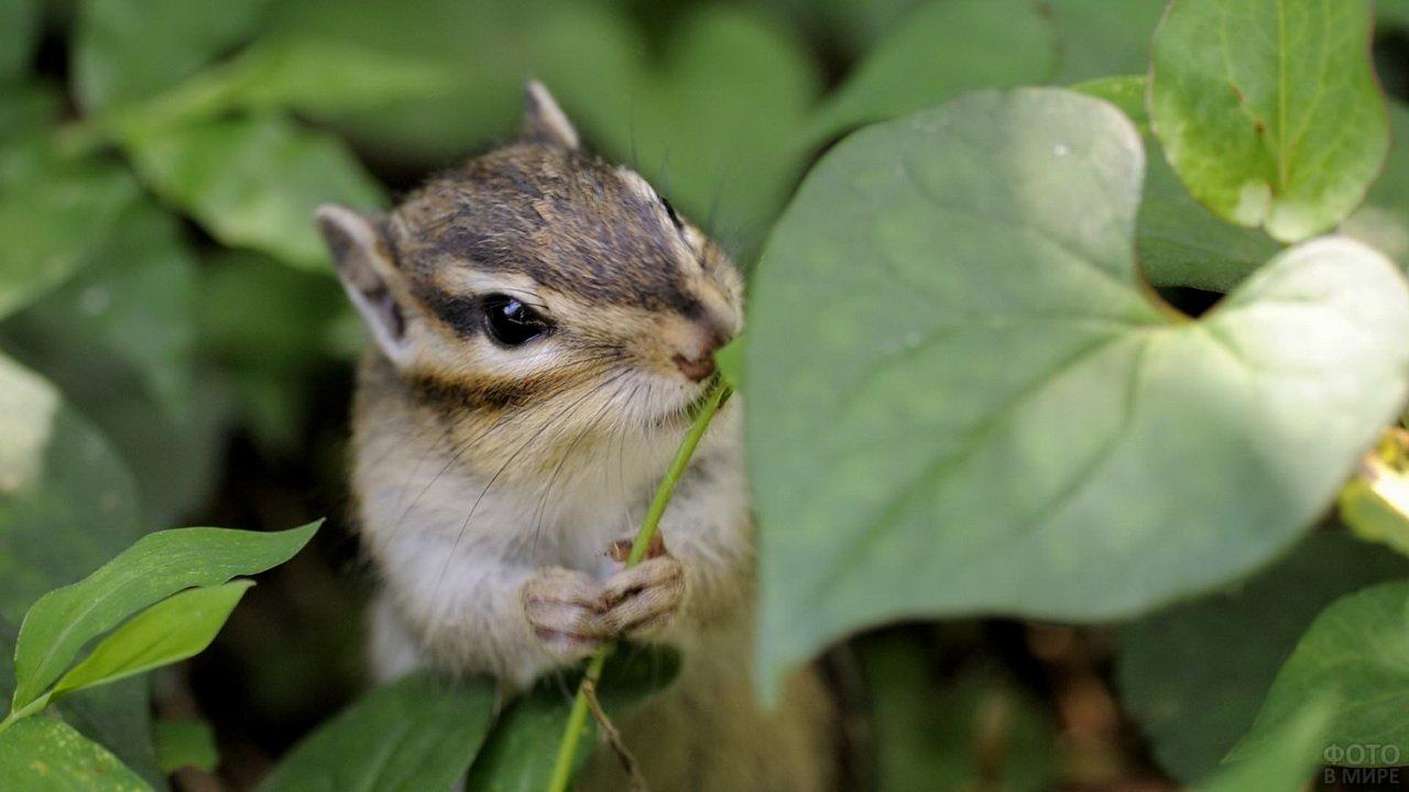 Малый бурундук ест травинку