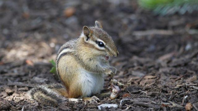 Малый бурундук сидит на сухих щепках
