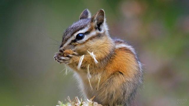 Сибирский бурундук ест семена одуванчика