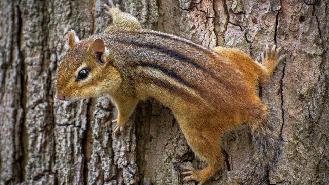 Восточный бурундук лезет по дереву