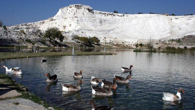 Дикие гуси на фоне белой горы кальцитового каскада в Памуккале