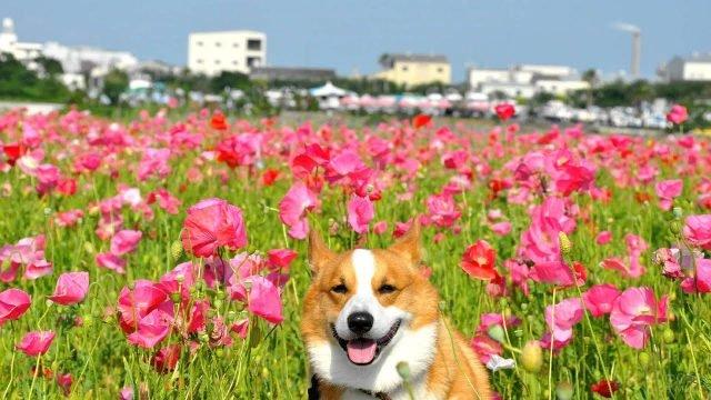 Довольный пёс гуляет по цветочному полю