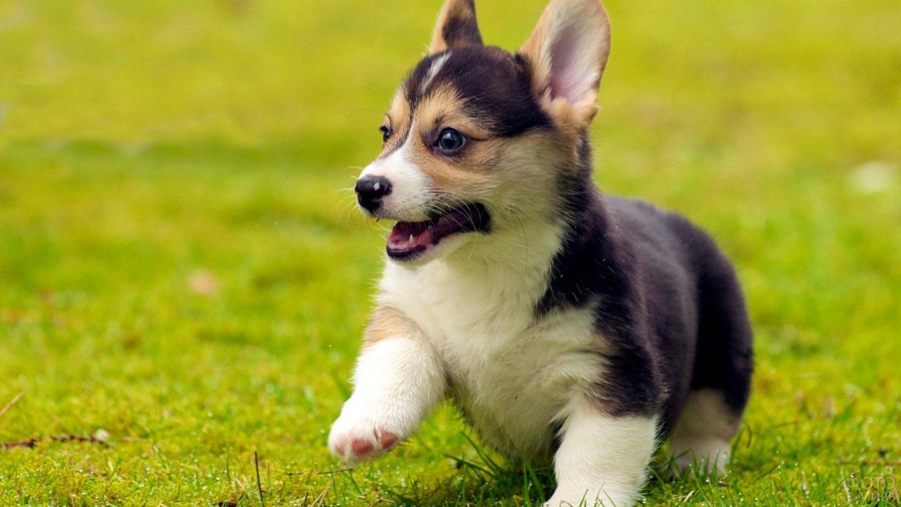 Маленький щенок делает шаг